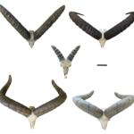 Tur horns